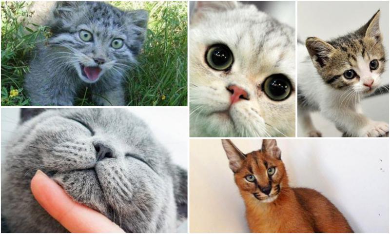 Kedilerin Evcilleştirilmeden Önceki Durumu