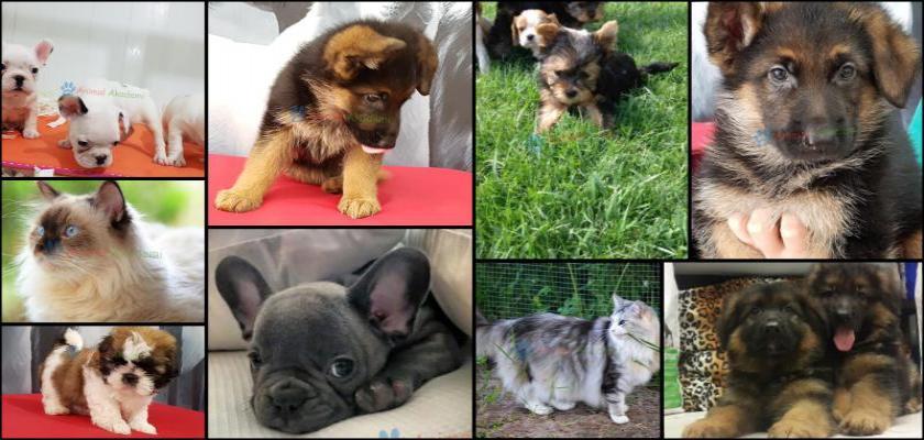 Yavru Köpeklerde Tasma Ve Kayış Kullanımı?