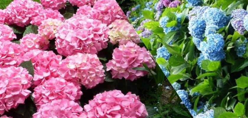 Ortanca Çiçeğinin Bakımı Nasıl Yapılır
